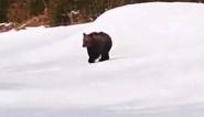 """熊出沒!  滑雪者路遇一只""""萌萌""""熊"""