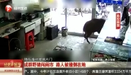 成群野猪闯闹市  路人被撞倒在地