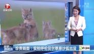 珍贵画面:实拍呼伦贝尔草原沙狐出没