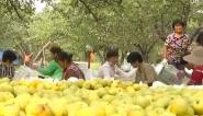安徽砀山50万亩酥梨成熟上市