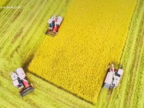 霍邱:城西湖水稻喜获丰收