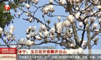 休宁:玉兰花开香飘齐云山