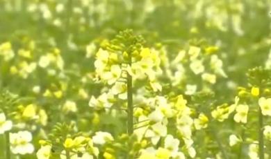 泗县:盛开七彩油菜花  扮靓乡村