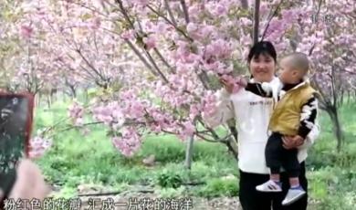 天长:人间最美四月天  千亩樱花正烂漫
