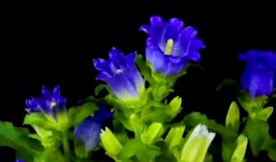 生活的礼物:延时拍摄  记录花开精彩瞬间