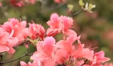 歙县:高山杜鹃花  遍野映山红