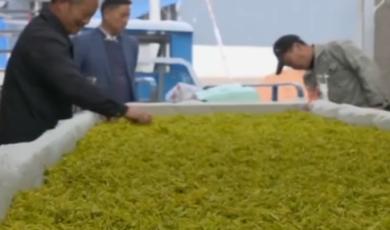 郎溪:黄茶产业带动村民增收致富