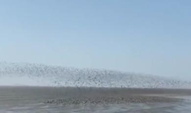 壮观!鸭绿江入海口百万候鸟掀起鸟浪