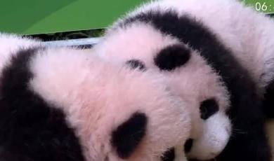 满百天双胞胎熊猫亮相 萌态十足