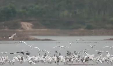 霍山:东淠河迎来今冬首批迁徙的候鸟