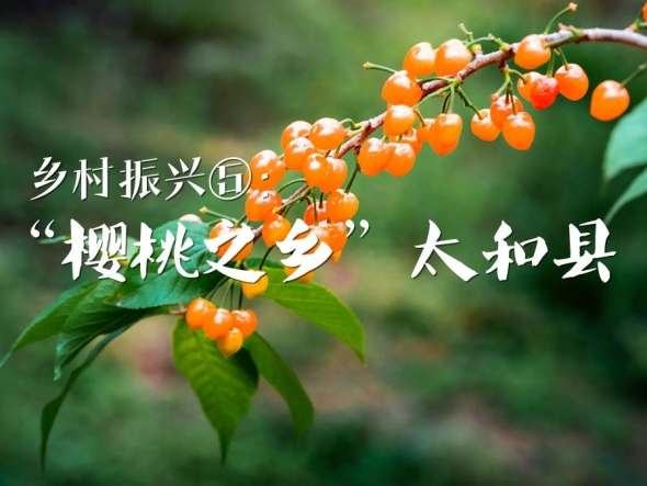 """乡村振兴⑤:""""樱桃之乡""""太和县"""